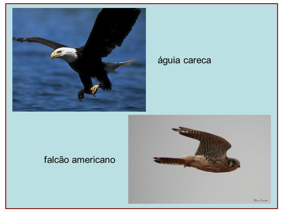 águia careca falcão americano