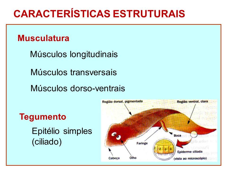 CARACTERÍSTICAS ESTRUTURAIS Musculatura Músculos longitudinais Músculos transversais Músculos dorso-ventrais Tegumento Epitélio simples (ciliado)