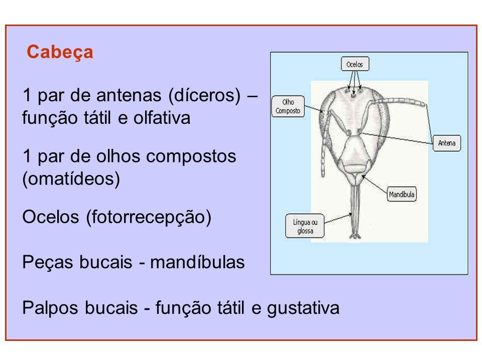 Cabeça 1 par de antenas (díceros) – função tátil e olfativa 1 par de olhos compostos (omatídeos) Ocelos (fotorrecepção) Peças bucais - mandíbulas Palpos bucais - função tátil e gustativa