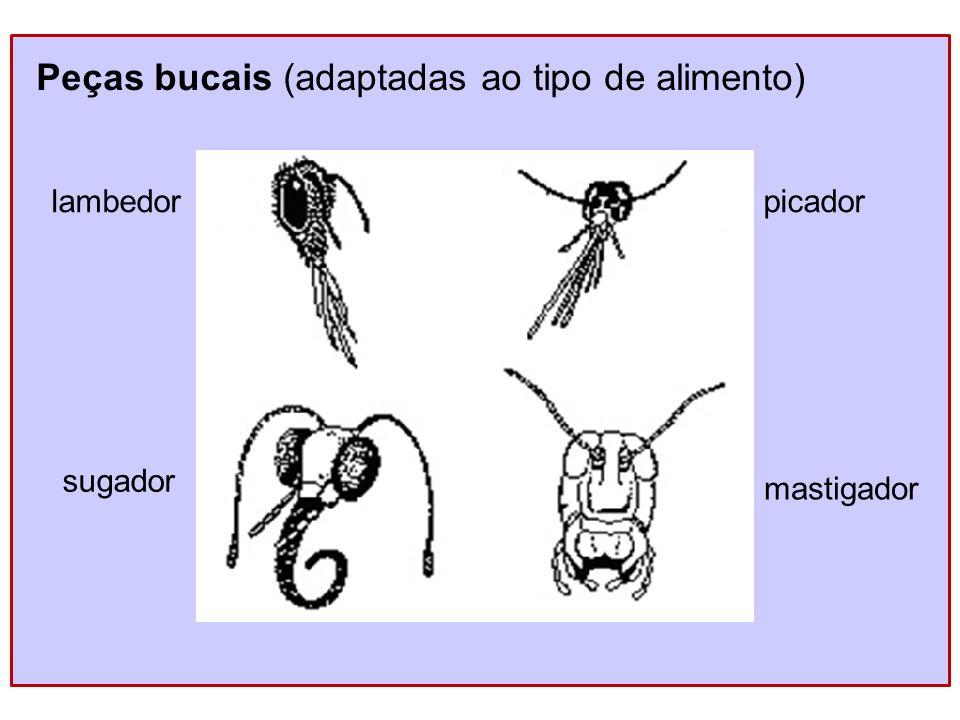 Peças bucais (adaptadas ao tipo de alimento) lambedor sugador picador mastigador