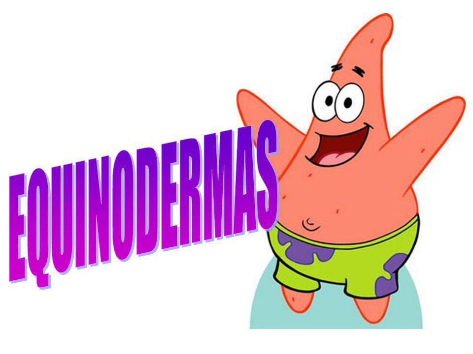 INTRODUÇÃO Animais com espinhos na pele Exclusivamente marinhos bentônicos Com características comuns aos cordados (endoesqueleto mesodérmico e deuterostomia) Acéfalos Simetria bilateral (larva) e pentarradial (adulto)
