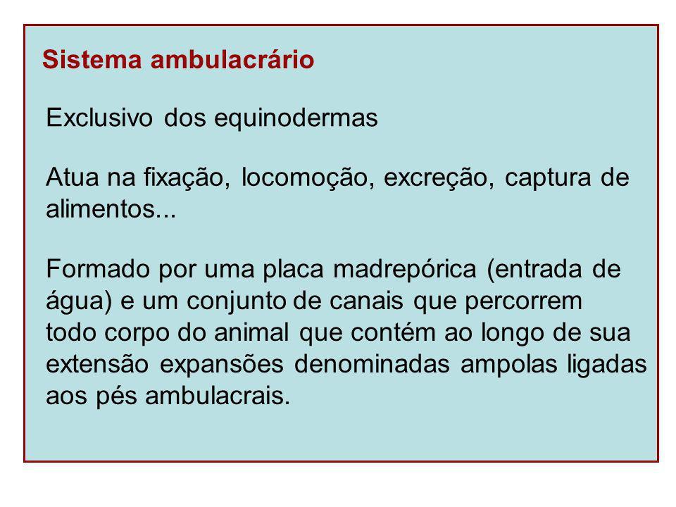 Sistema ambulacral