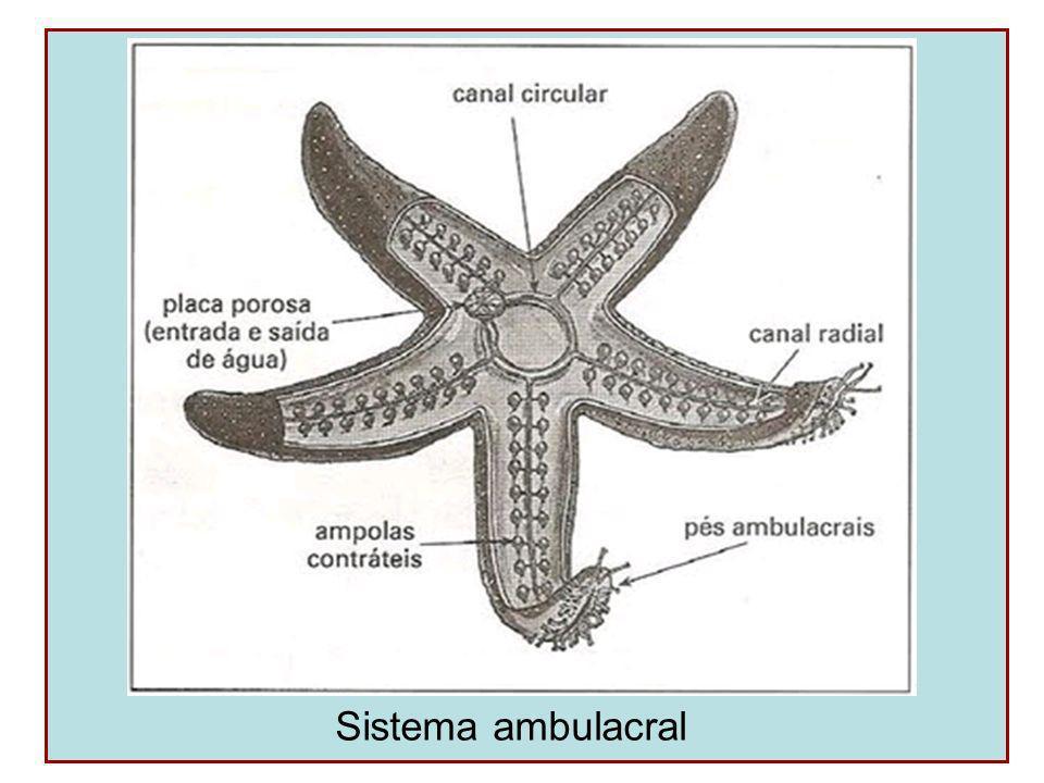 Reprodução Dióicos Fecundação externa Alta capacidade regenerativa Desenvolvimento indireto (larva diplêurula)
