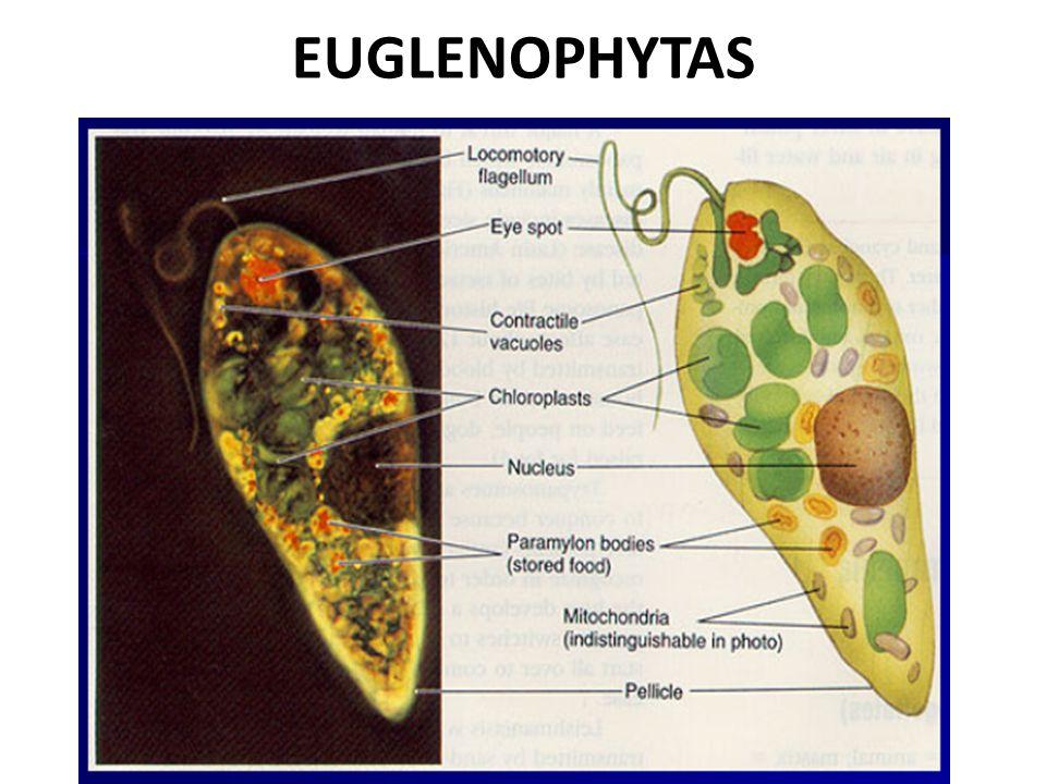 EUGLENOPHYTAS