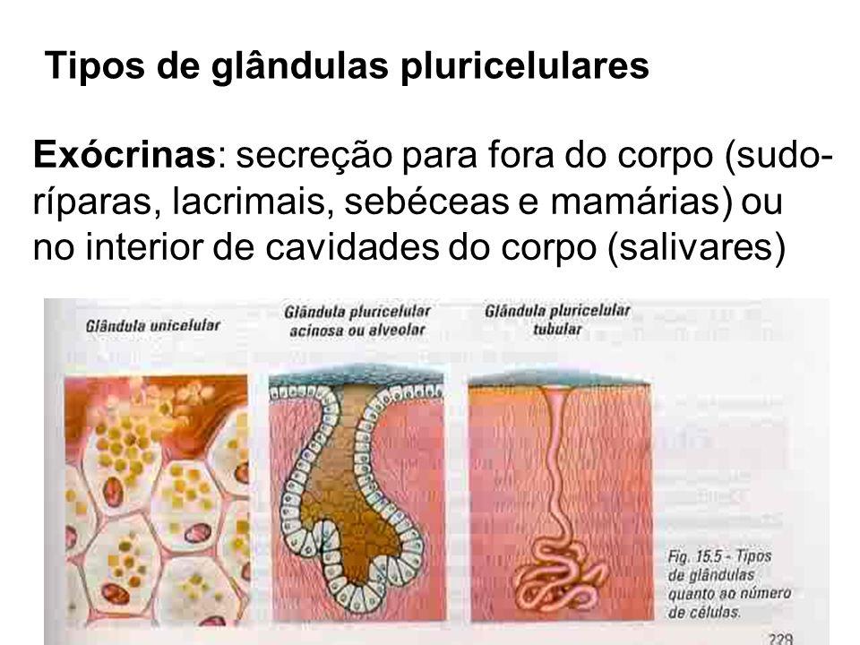 Tipos de glândulas pluricelulares Exócrinas: secreção para fora do corpo (sudo- ríparas, lacrimais, sebéceas e mamárias) ou no interior de cavidades d