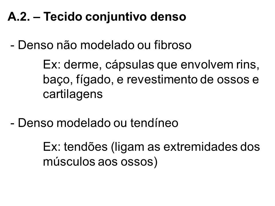 A.2. – Tecido conjuntivo denso - Denso não modelado ou fibroso Ex: derme, cápsulas que envolvem rins, baço, fígado, e revestimento de ossos e cartilag