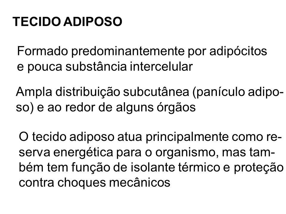 TECIDO ADIPOSO Ampla distribuição subcutânea (panículo adipo- so) e ao redor de alguns órgãos Formado predominantemente por adipócitos e pouca substân