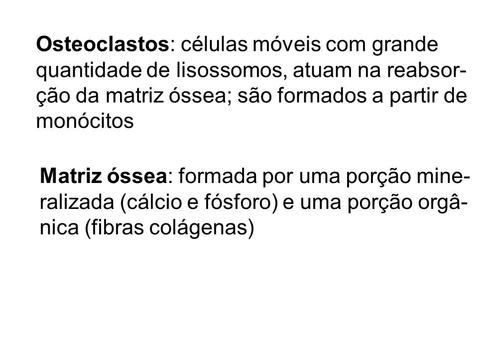 Osteoclastos: células móveis com grande quantidade de lisossomos, atuam na reabsor- ção da matriz óssea; são formados a partir de monócitos Matriz óss