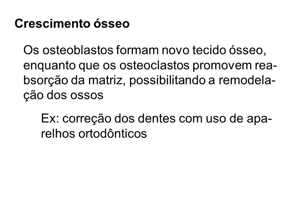 Crescimento ósseo Os osteoblastos formam novo tecido ósseo, enquanto que os osteoclastos promovem rea- bsorção da matriz, possibilitando a remodela- ç