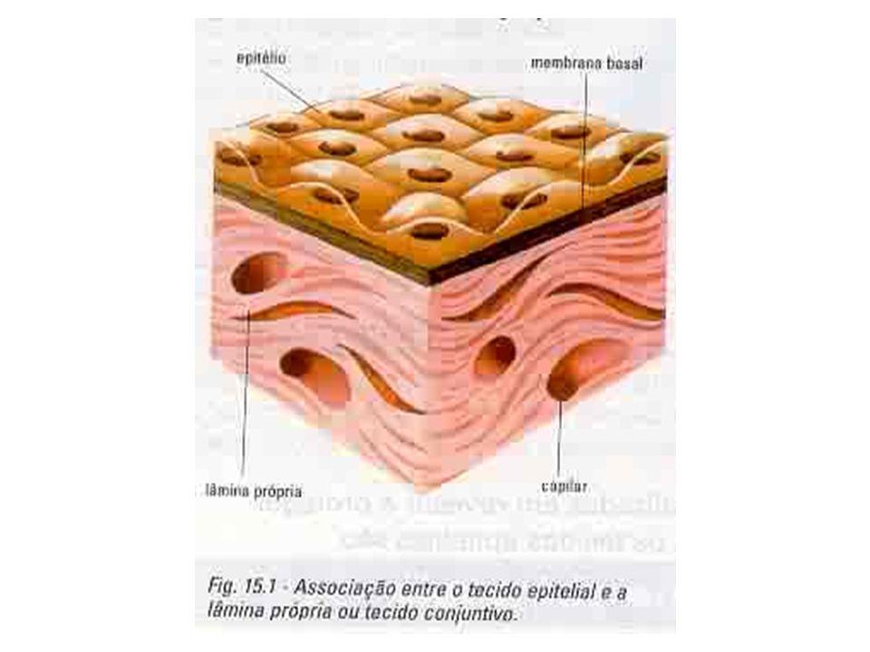 Função Revestimento de órgãos Proteção contra choques mecânicos, micror- ganismos, substâncias químicas, radiações Percepção de estímulos do ambiente Absorção Secreção de substâncias
