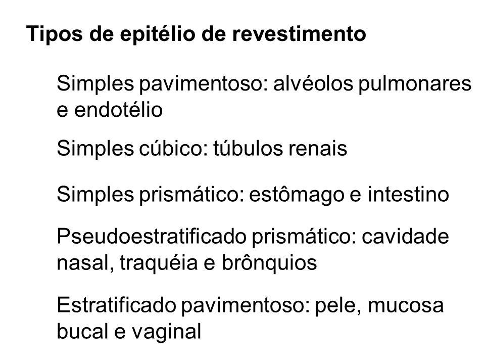 Tipos de epitélio de revestimento Simples pavimentoso: alvéolos pulmonares e endotélio Simples cúbico: túbulos renais Simples prismático: estômago e i
