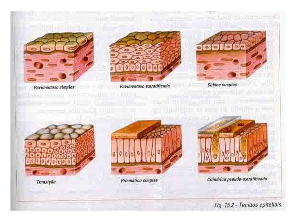 Classificação Osso esponjoso: medula óssea vermelha (pro- dução de células sanguíneas) Osso compacto: medula óssea amarela (reser- va de lipídios) e canais de passagem de vasos e nervos (canais centrais ou canais de Havers e canais transversais ou canais de Volkman) Sistema de Havers: conjunto de lamelas con- cêntricas ao redos dos canais centrais
