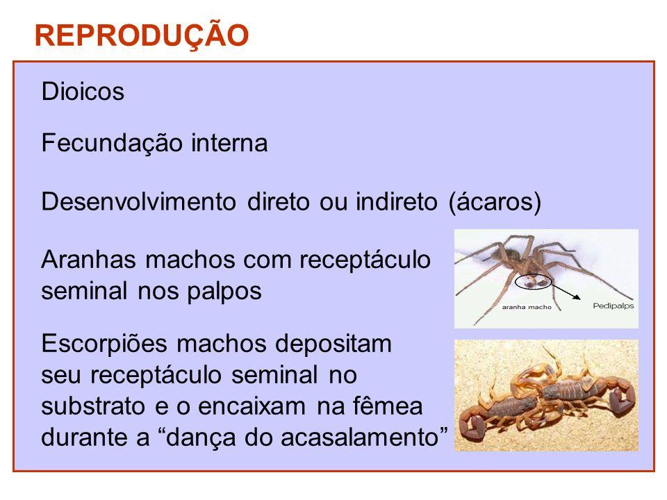 REPRODUÇÃO Dioicos Fecundação interna Desenvolvimento direto ou indireto (ácaros) Aranhas machos com receptáculo seminal nos palpos Escorpiões machos