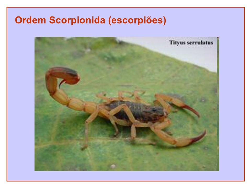 Ordem Scorpionida (escorpiões)