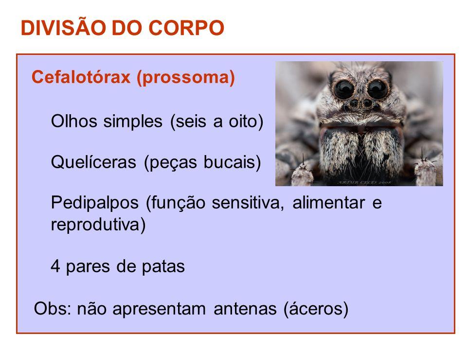 Abdome (opistossoma) Espiráculos (entrada e saída de ar) Fiandeiras (aranhas) Pós-abdomen com aguilhão (escorpiões)