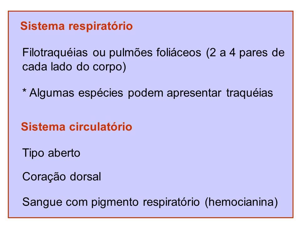 Sistema respiratório Filotraquéias ou pulmões foliáceos (2 a 4 pares de cada lado do corpo) * Algumas espécies podem apresentar traquéias Sistema circ