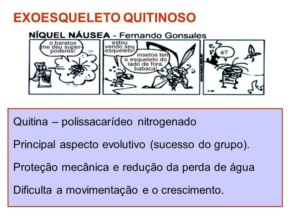 Quitina – polissacarídeo nitrogenado EXOESQUELETO QUITINOSO Principal aspecto evolutivo (sucesso do grupo). Proteção mecânica e redução da perda de ág