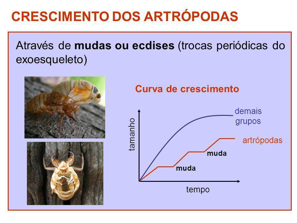 CRESCIMENTO DOS ARTRÓPODAS Através de mudas ou ecdises (trocas periódicas do exoesqueleto) tamanho tempo muda artrópodas demais grupos Curva de cresci