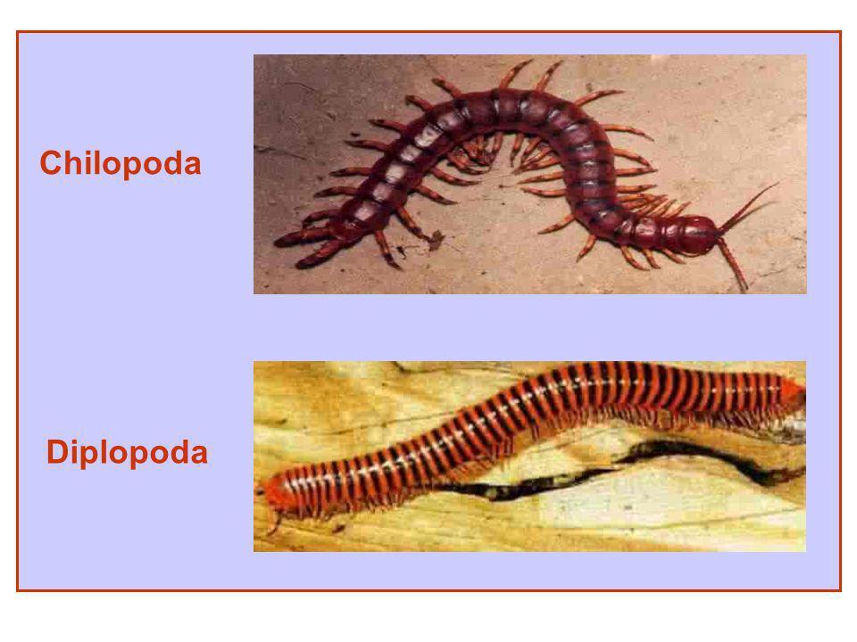 Chilopoda Diplopoda