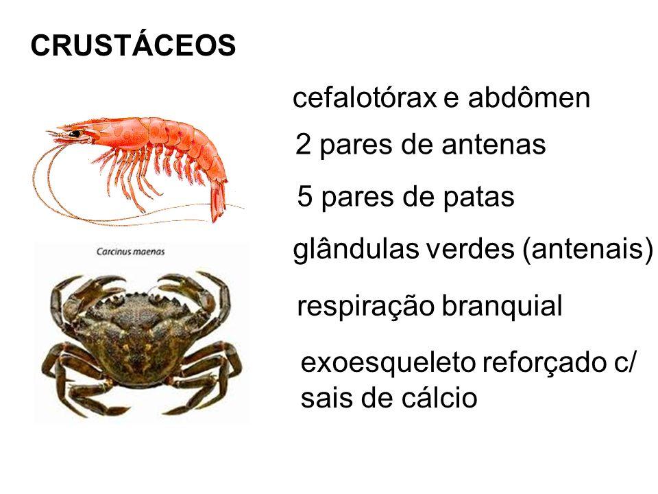 CRUSTÁCEOS cefalotórax e abdômen 2 pares de antenas 5 pares de patas glândulas verdes (antenais) respiração branquial exoesqueleto reforçado c/ sais de cálcio