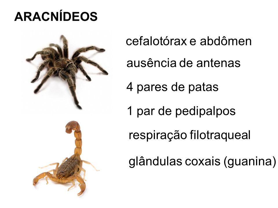 ARACNÍDEOS cefalotórax e abdômen ausência de antenas 4 pares de patas 1 par de pedipalpos respiração filotraqueal glândulas coxais (guanina)