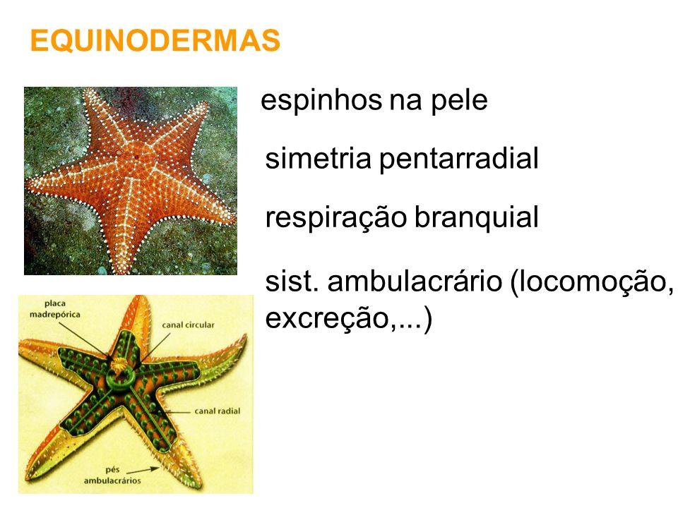 EQUINODERMAS espinhos na pele simetria pentarradial respiração branquial sist. ambulacrário (locomoção, excreção,...)