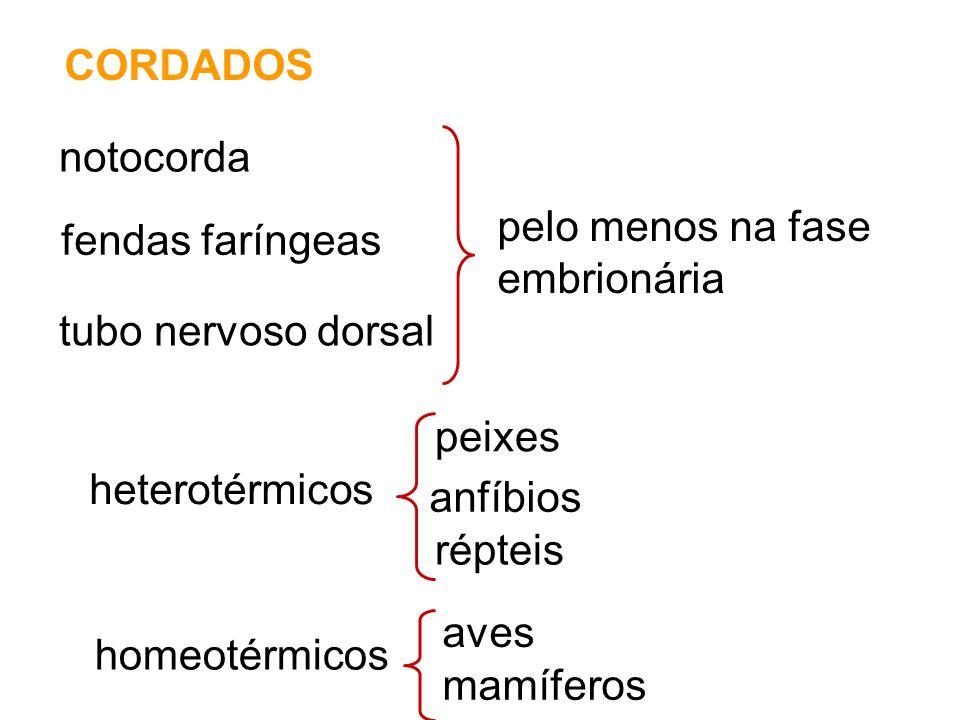 CORDADOS notocorda fendas faríngeas tubo nervoso dorsal pelo menos na fase embrionária heterotérmicos peixes anfíbios répteis aves mamíferos homeotérmicos