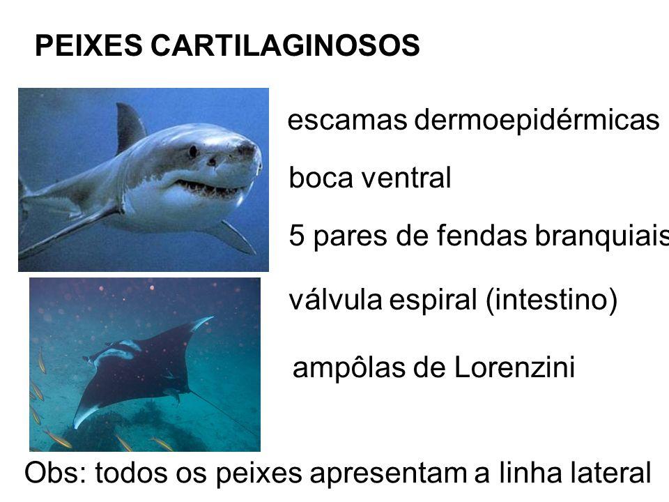 PEIXES CARTILAGINOSOS escamas dermoepidérmicas boca ventral 5 pares de fendas branquiais válvula espiral (intestino) ampôlas de Lorenzini Obs: todos os peixes apresentam a linha lateral