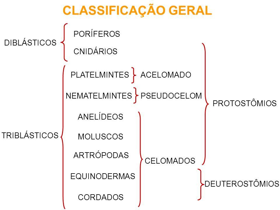 PORÍFEROS parazoários tecidos pouco diferenciados pinacócitos - revestimento coanócitos - captura e digestão de alimentos espículas calcárias ou silicosas - sustentação brotamento - reprod.