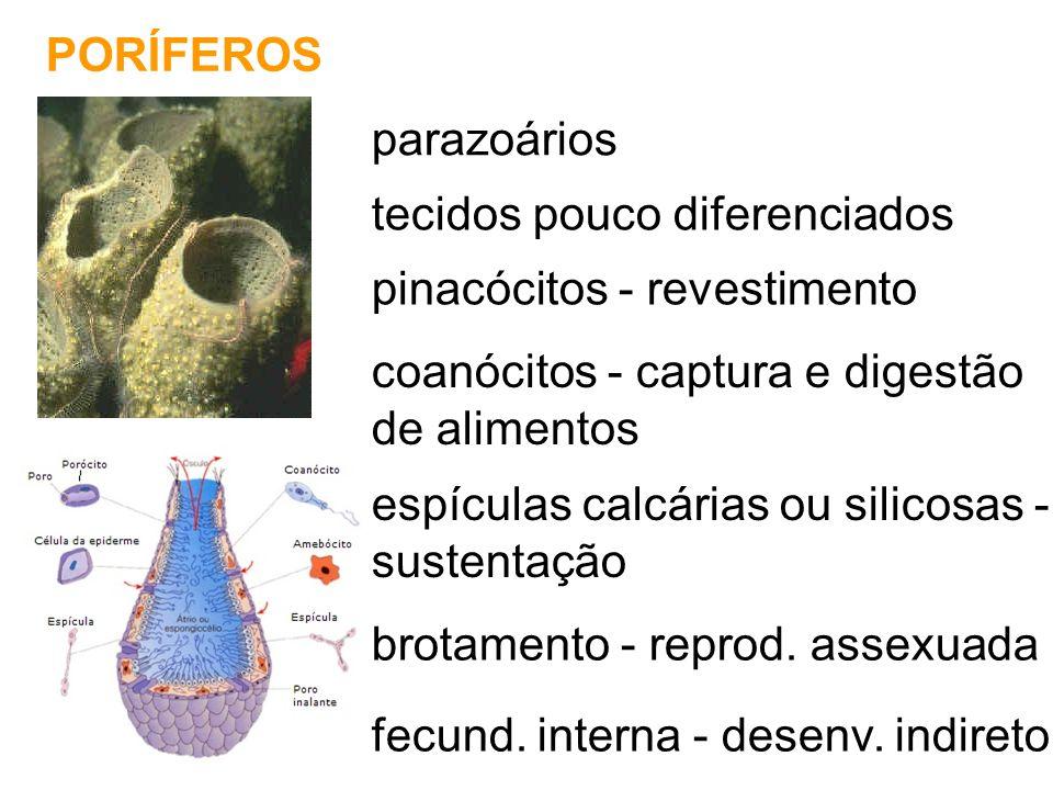 PORÍFEROS parazoários tecidos pouco diferenciados pinacócitos - revestimento coanócitos - captura e digestão de alimentos espículas calcárias ou silic