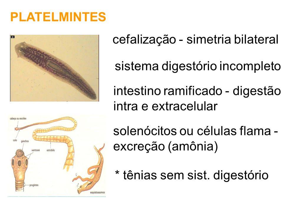PLATELMINTES cefalização - simetria bilateral intestino ramificado - digestão intra e extracelular solenócitos ou células flama - excreção (amônia) si