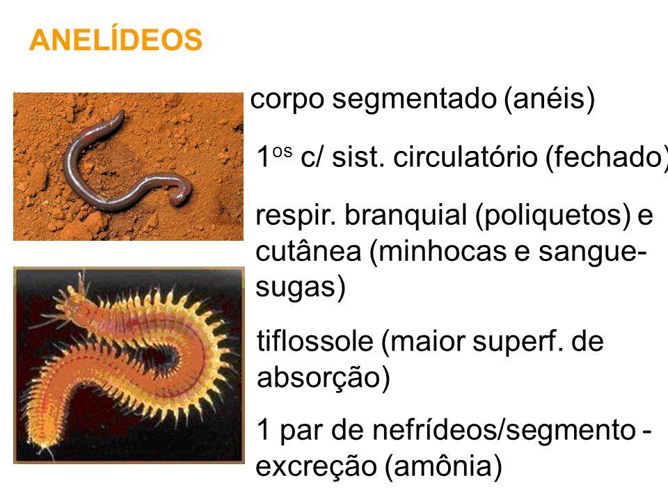 ANFÍBIOS pele úmida e permeável (pouco queratinizada) respiração branquial (fase larval), cutânea e pulmonar (fase adulta) amônia (larvas) e uréia (adultos) *gls parótidas - veneno fecund.