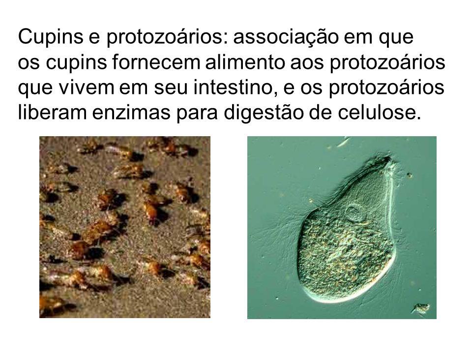 Cupins e protozoários: associação em que os cupins fornecem alimento aos protozoários que vivem em seu intestino, e os protozoários liberam enzimas pa
