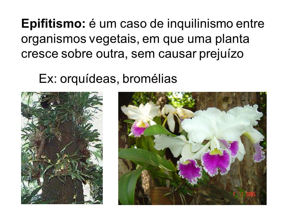 Epifitismo: é um caso de inquilinismo entre organismos vegetais, em que uma planta cresce sobre outra, sem causar prejuízo Ex: orquídeas, bromélias