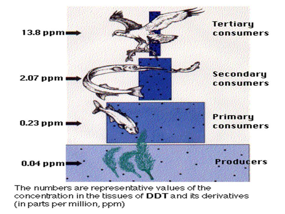 MARÉ VERMELHA Proliferação de algas pirrófitas – liberação de toxinas MARÉ NEGRA ( DERRAMAMENTO DE PETRÓLEO ) Impede a penetração de luz – afeta a fotossíntese Mortalidade do fitoplâncton – afeta toda cadeia alimentar MAGNIFICAÇÃO TRÓFICA Acúmulo de certas substâncias ao longo da cadeia alimentar