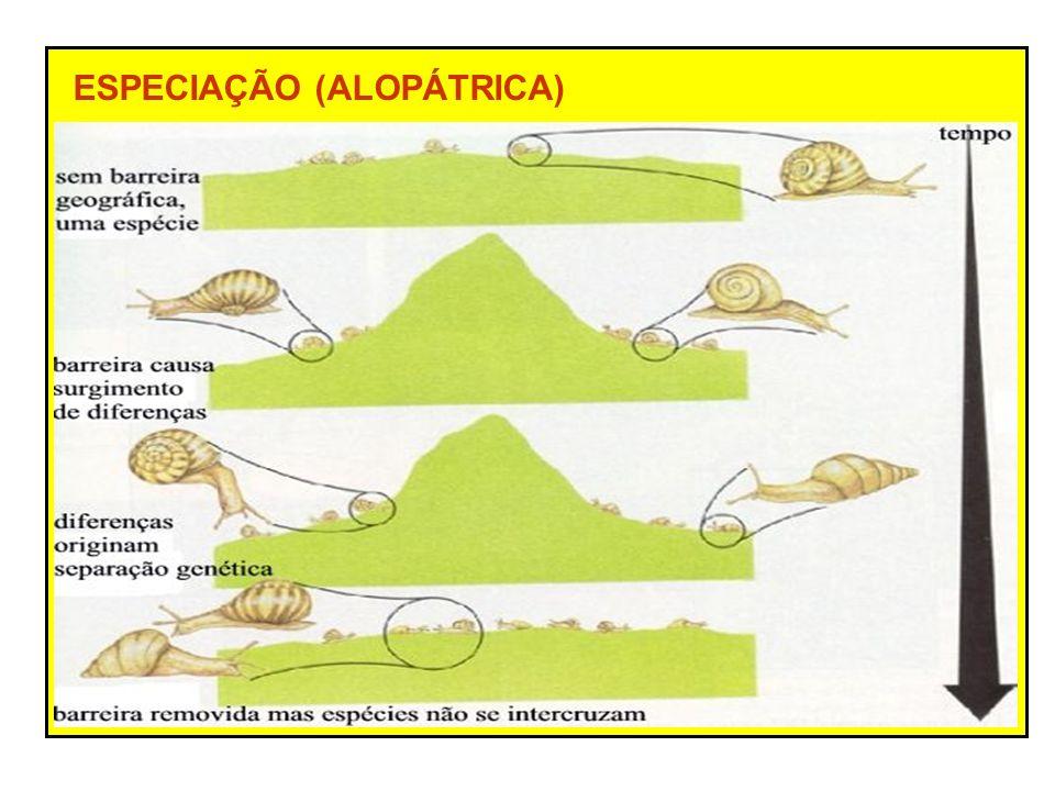ESPECIAÇÃO (ALOPÁTRICA) Isolamento geográfico (barreira física) – impede o fluxo gênico entre as populações População original várias populações Seleção natural diferenciada Formação de raças Aumento da diversidade genética Isolamento reprodutivo – espécies diferentes