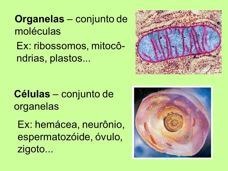 Tecidos – conjunto de células semelhantes Ex: tec.