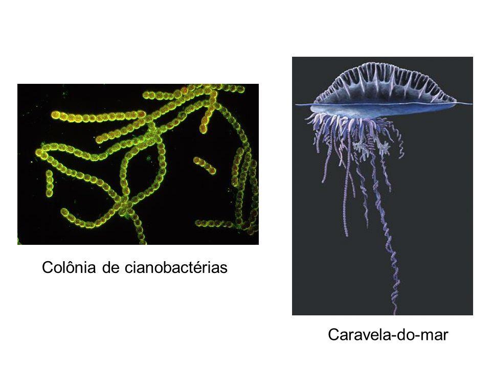 Colônia de cianobactérias Caravela-do-mar