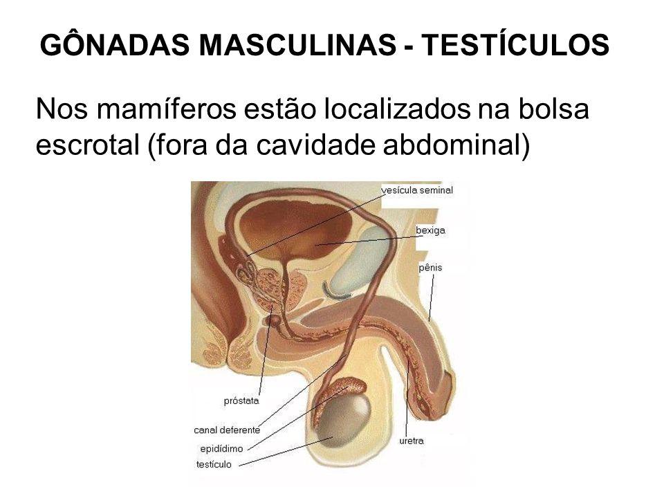 GÔNADAS MASCULINAS - TESTÍCULOS Nos mamíferos estão localizados na bolsa escrotal (fora da cavidade abdominal)