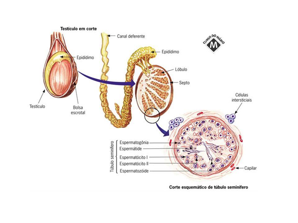 GÔNADAS FEMININAS - OVÁRIOS Localizados no interior da cavidade pélvica