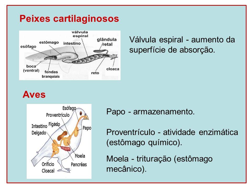 Ruminantes (estômago com 4 cavidades) Rúmen: presença de microrganismos que produzem celulase.