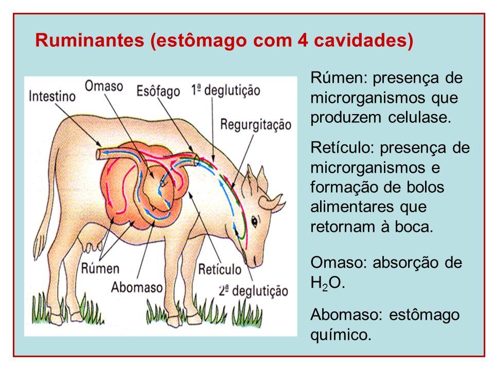 Ruminantes (estômago com 4 cavidades) Rúmen: presença de microrganismos que produzem celulase. Retículo: presença de microrganismos e formação de bolo
