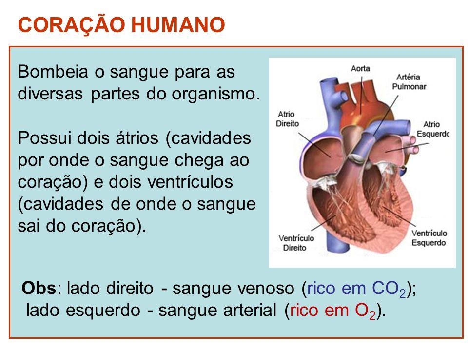 CORAÇÃO HUMANO Bombeia o sangue para as diversas partes do organismo. Possui dois átrios (cavidades por onde o sangue chega ao coração) e dois ventríc