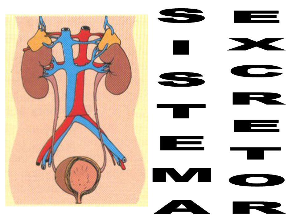Durante a passagem do filtrado pelos túbulos néfricos algumas substâncias (glicose, sais, H 2 O e outras) são reabsorvidas para vasos sanguíneos adjacentes (transporte ativo, osmose e difusão).