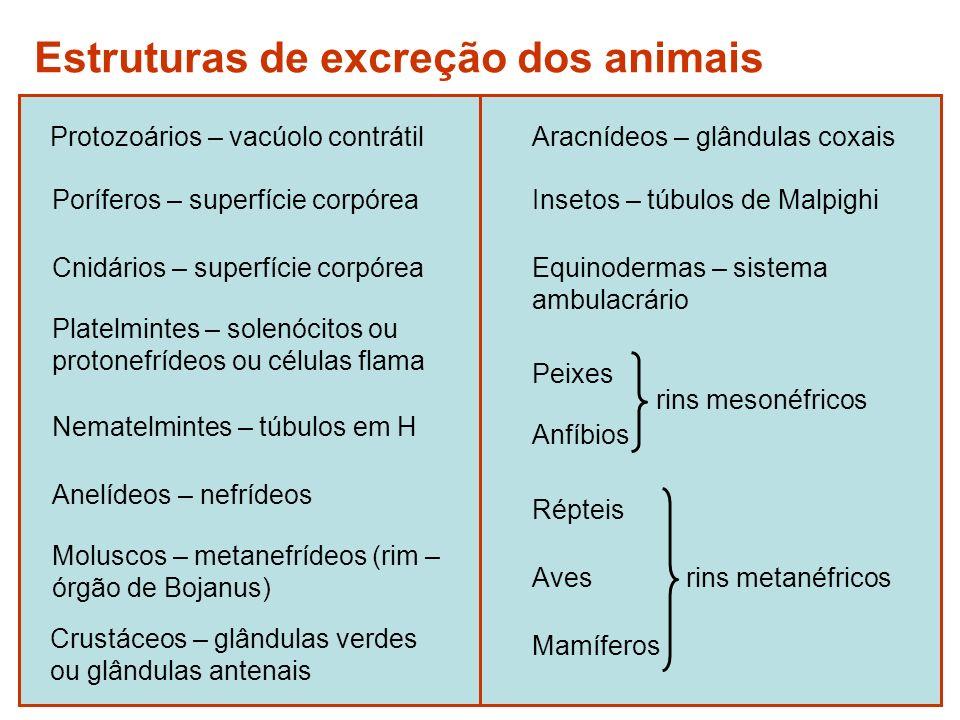 SISTEMA EXCRETOR HUMANO Rins: produção de urina Ureteres: condução da urina até a bexiga Bexiga: armazenamento da urina Uretra: eliminação da urina para o meio
