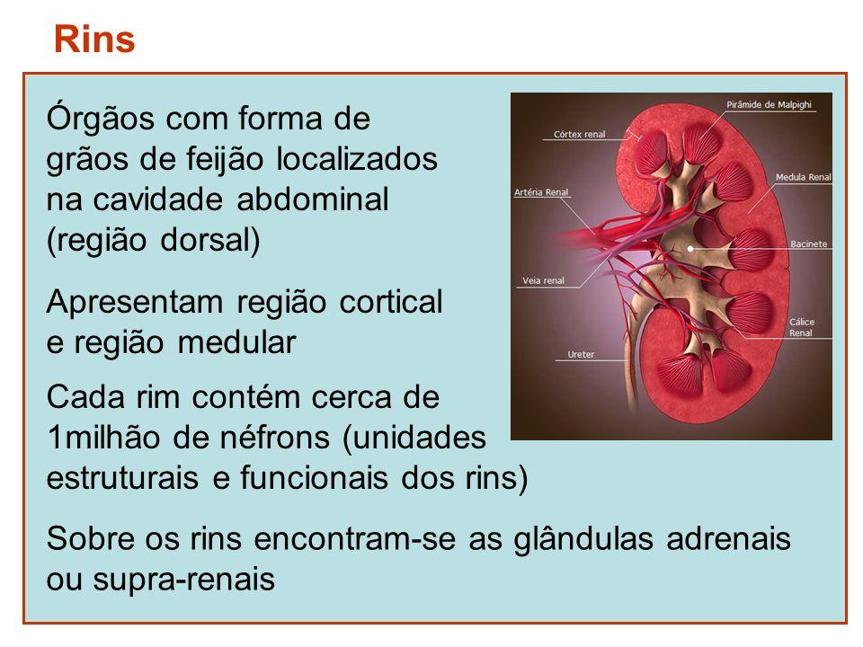 Néfrons Corpúsculo renal (cápsula de Bowman e glomérulo) Túbulos néfricos (túbulo contorcido proximal, alça de Henle, túbulo contorcido distal)