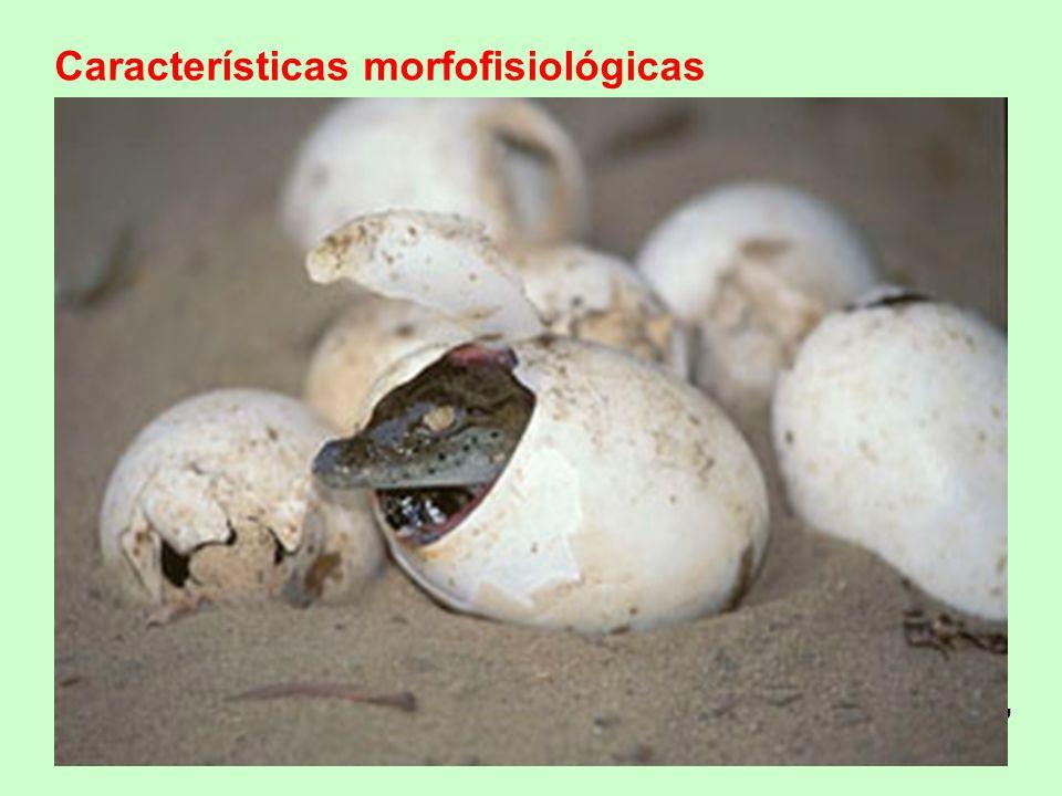 Características morfofisiológicas Pele impermeável ( queratinizada), seca (s/ glândulas), com escamas ou placas córneas ou ossos dérmicos Presença de