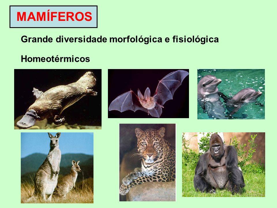 MAMÍFEROS Grande diversidade morfológica e fisiológica Homeotérmicos