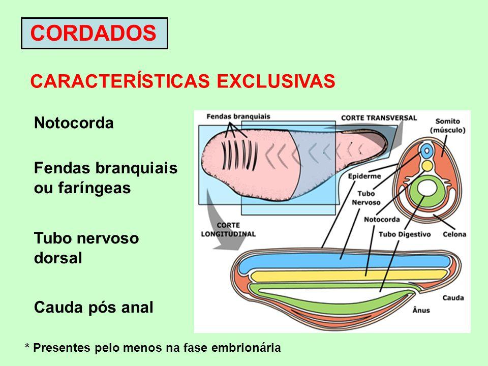 CORDADOS CARACTERÍSTICAS EXCLUSIVAS Notocorda Fendas branquiais ou faríngeas Tubo nervoso dorsal Cauda pós anal * Presentes pelo menos na fase embrion