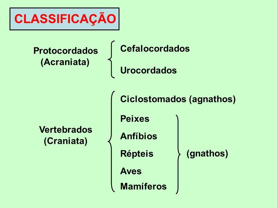CLASSIFICAÇÃO Protocordados (Acraniata) Cefalocordados Urocordados Vertebrados (Craniata) Ciclostomados (agnathos) Peixes Anfíbios Répteis Aves Mamífe